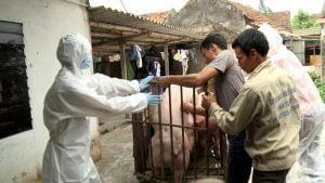 Cơ quan chức năng tiêu hủy một ổ dịch tả heo tại Hưng Yên
