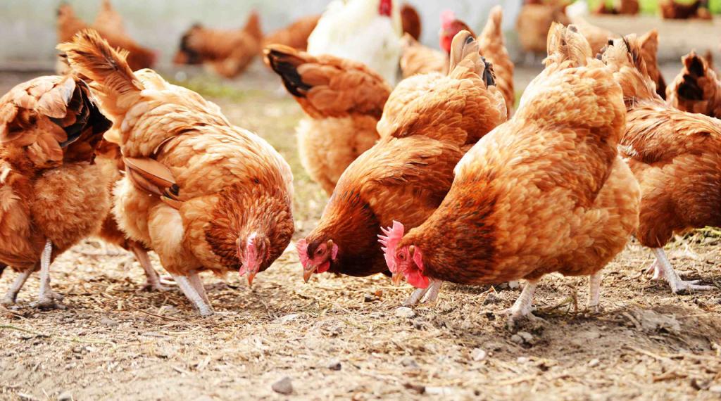 Bổ sung thức ăn cho gà đẻ trứng