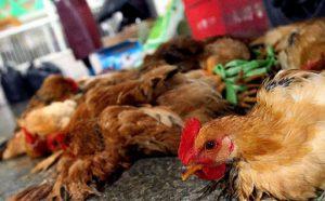 Bệnh thiếu dinh dưỡng ở gà